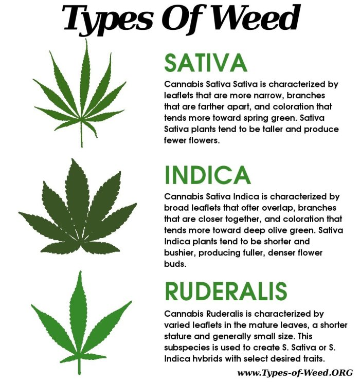 Everything-you-ever-needed-to-know-about-cannabis-leaves-3-The-differences-between-sativa-indica-and-ruderalis-leaves